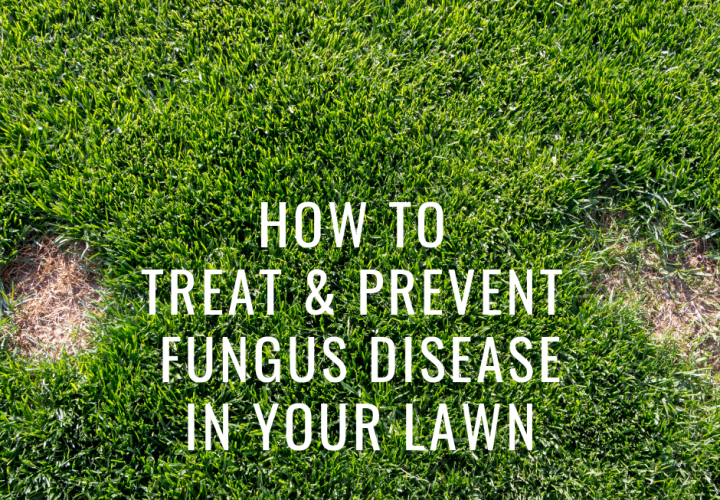 how to treat and prevent fungus disease in your lawn