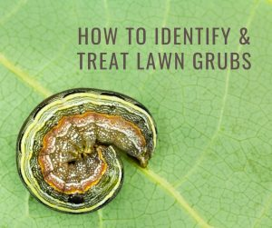 how to identify and treat lawn grubs